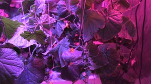 Keeping Your LED Grow Light at a Proper Distance